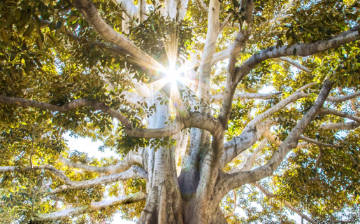 Large, old oak tree with sunshine at the top